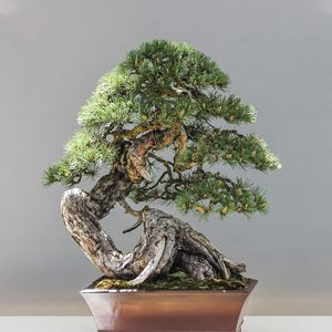 The photo of bonsai